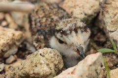 Sandregenpfeifer, der unter den Steinen sich versteckt Lizenzfreie Stockfotografie