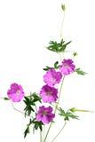 Sandrine-Pelargonie-Blume Lizenzfreies Stockbild