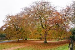 Sandringham beech trees. Colourful autumn beech trees situated on the Sandringham estate Royalty Free Stock Photos