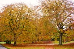 Sandringham beech trees Stock Photo