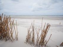 Sandrör i dyn på Ameland Royaltyfria Foton