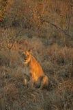 sands för lionssabiesafari Arkivfoto