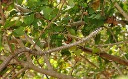 Sandsnake Lien-marqué Images libres de droits