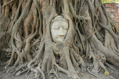 Sandstone Buddha head within tree root. Ornament: sandstone Buddha head within tree root at wat Mahathat in Ayutthaya, Thailand Royalty Free Stock Image
