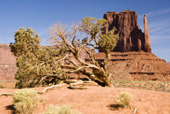 Sandstone & juniper. View of Juniper tree with sandstone formation in the background Stock Images