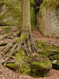 Sandstone rock and tree. Sandstone rock with moss in the National park Bohemian Paradise Stock Photos