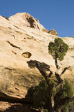 Sandstone wall and juniper tree. View of the canyon walls along the trail to Hickman Bridge in Capital Reef National Park Royalty Free Stock Image