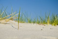 sandsugrör Arkivfoton