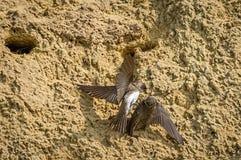 Sandsvalor som slåss över att bygga bo hålet Royaltyfria Bilder