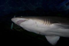 Sandtiger-Haifisch (Carchariasstier) stockfoto