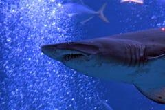 Sandtiger-Haifisch, Tokyo, Japan lizenzfreie stockfotos