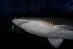 Sandtiger shark (Carcharias taurus) Stock Photo