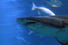 Sandtiger shark, Tokyo, Japan Royalty Free Stock Images