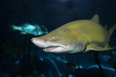 Sandtigerhaifisch stockfoto