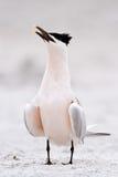 sandvicensis三明治燕鸥thalasseus 免版税库存图片