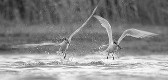 sandvicensis三明治燕鸥thalasseus 库存照片