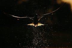 sandvicensis三明治燕鸥thalasseus 免版税图库摄影