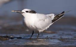 Sandwich Tern. On beach in water Royalty Free Stock Photos