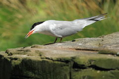 Sandwich tern Stock Photo