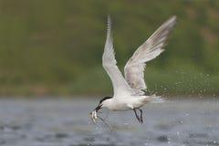 Sandwich Tern Stock Image