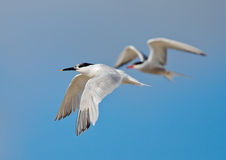 Sandwich Tern. In flight at a blue sky Royalty Free Stock Images