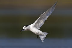 Sandwich Tern Stock Photos