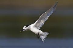 Sandwich Tern. In flight - Florida Stock Photos