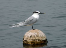 Sandwich tern Stock Images