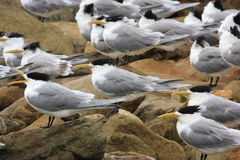 Sandwich tern birds Stock Photography
