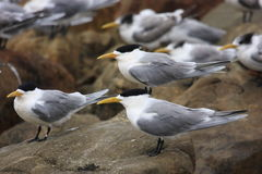 Sandwich tern birds Royalty Free Stock Photography