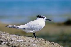 Sandwich tern birds. Migrazioni bretagne france migration Royalty Free Stock Photo