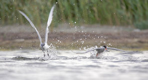 Sandwich Tern and Common Tern. Stock Images