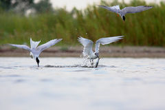 Sandwich Tern and Common Tern. Sandwich Tern and Common Tern  catch fish Royalty Free Stock Photography