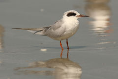 Sandwich Tern - Cumberland Island Royalty Free Stock Photos