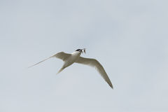 Sandwich Tern in flight. A breeding Sandwich Tern returning to its nest with a freshly caught Sardine. The bird in in full breeding plumage Royalty Free Stock Photography