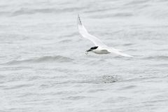 Sandwich tern in flight with a caught fish. Sandwich tern Sterna sandvicensis flying over water with fish in bill, Texel, the Netherlands Stock Photo