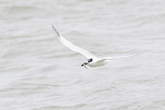 Sandwich tern in flight Royalty Free Stock Images