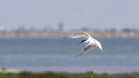Sandwich Tern in Flight Royalty Free Stock Photos