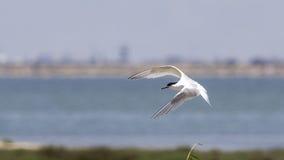 Sandwich Tern in Flight. A sandwich tern (Thalasseus sandvicensis) is flying in a clear blue sky Royalty Free Stock Photos
