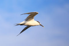 Sandwich Tern flying above Paracas Bay, Peru Royalty Free Stock Image