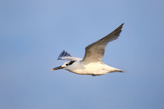 Sandwich Tern flying above Paracas Bay, Peru Royalty Free Stock Photos