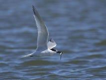 Sandwich tern Thalasseus sandvicensis. Sandwich tern in its natural habitat in Denmark Stock Images