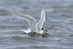 Sandwich tern Thalasseus sandvicensis. Sandwich tern in its natural habitat in Denmark Stock Photo