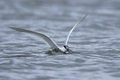 Sandwich tern Thalasseus sandvicensis. Sandwich tern in its natural habitat in Denmark Royalty Free Stock Photo