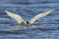 Sandwich tern Thalasseus sandvicensis. Sandwich tern in its natural habitat in Denmark Stock Photography