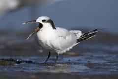 Sandwich Tern with open beak. Calling Sandwich Tern on beach in water Royalty Free Stock Photos
