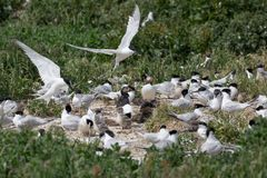 Sandwich Tern seabirds nesting with young. Sandwich Tern Sterna sandvicensis.  seabirds nesting with young Royalty Free Stock Photography