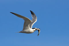 Sandwich Tern (Sterna sandvicensis) Royalty Free Stock Images