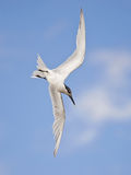 Sandwich Tern (Sterna sandvicensis) Royalty Free Stock Photography