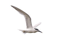 Sandwich Tern (Sterna sandvicensis) Stock Images